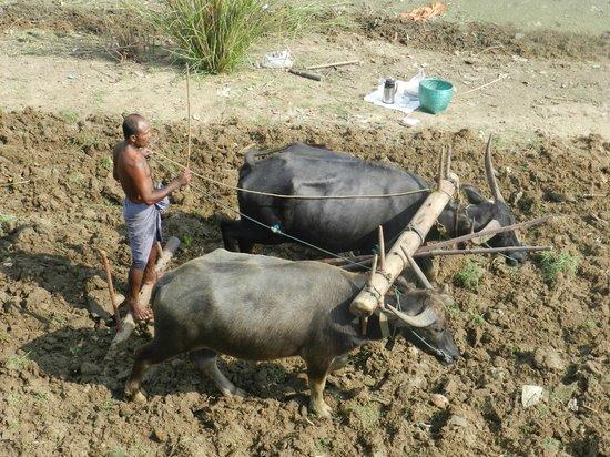 U Bein Bridge: Farmer ploughing