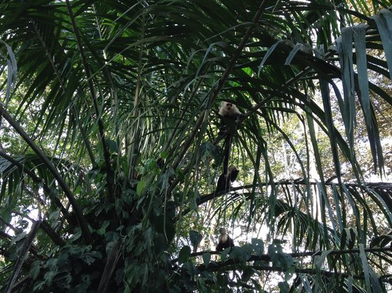 El Remanso Lodge: White face capuchin monkeys