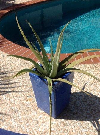 Villa Punta Salina: Aloe Plant