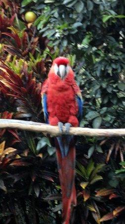 Hotel Atitlan:                   Resident Scarlet Macaw                 