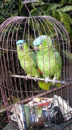 Hotel Atitlan:                   Resident Lovebirds