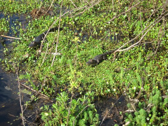 Spirit of the Swamp Airboat Tours:                   Gator nest with two baby gators