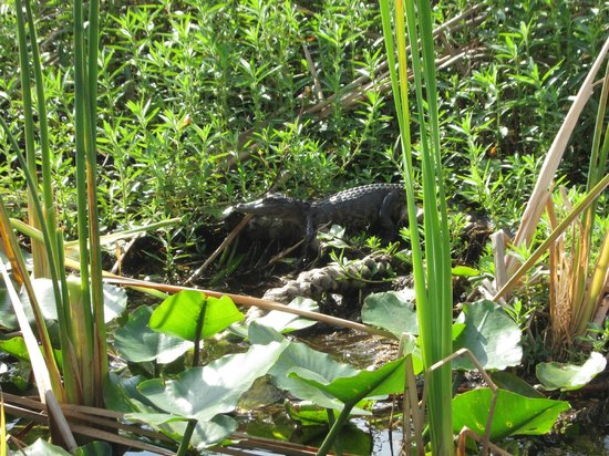 Spirit of the Swamp Airboat Tours:                   Baby Gator