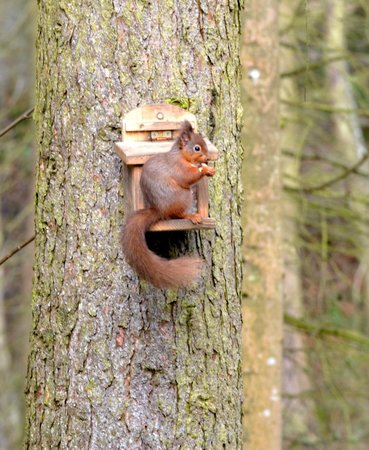 Morpeth, UK:                   Wallington Hall Wildlife Hide - Red Squirrel