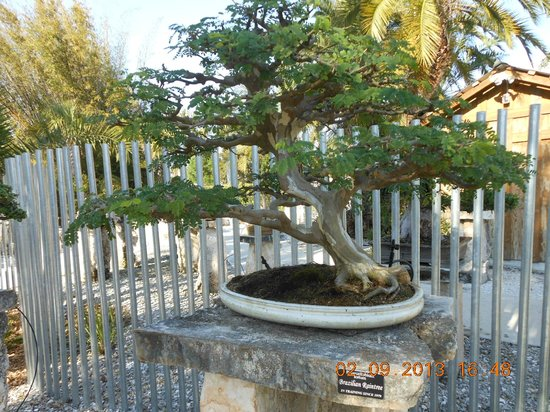 Heathcote Botanical Gardens:                   Bonsai