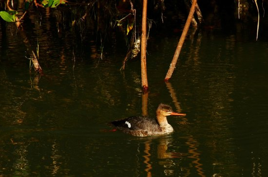 Coquina Baywalk:                   duck in the mangroves