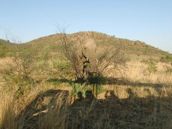 باكوبونج بوش لودج:                   Hoe een olifant zicht kan verstoppen! / Schaduw van de safariwagen           