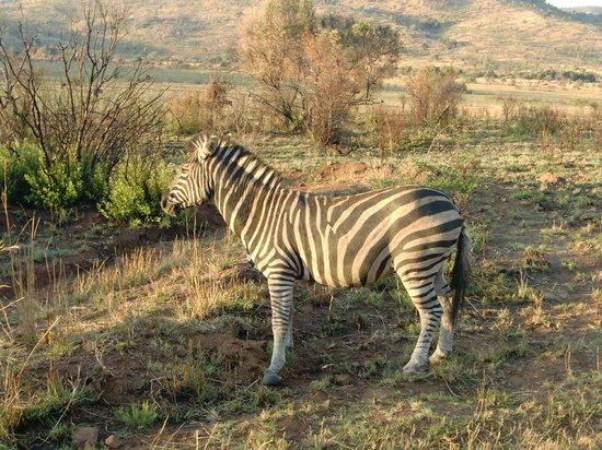 Pilanesberg National Park, South Africa:                   Zebra in Pilanusberg National Park
