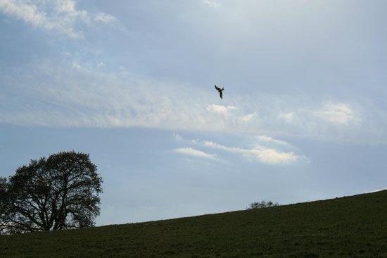 Mandinam:                   Red Kites