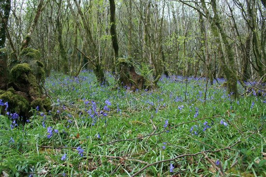 Mandinam:                   The Bluebell wood at the bottom of the hill
