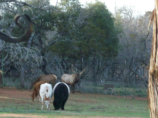 "Country Inn & Cottages:                   Elk and cattle in the ""backyard"""