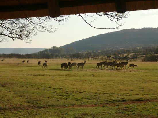 Kololo Game Reserve:                   Bij aankomst stonden de Koedoes en Gnoes al op ons te wachten
