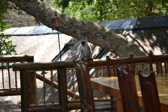 Naledi Bushcamp and Enkoveni Camp:                   Another monkey sighting
