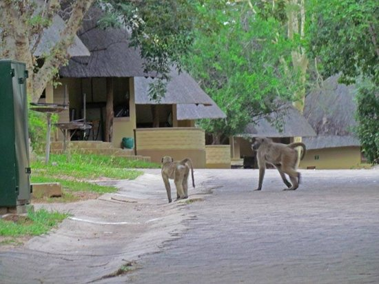 Skukuza Rest Camp: Babouins... les petits voleurs