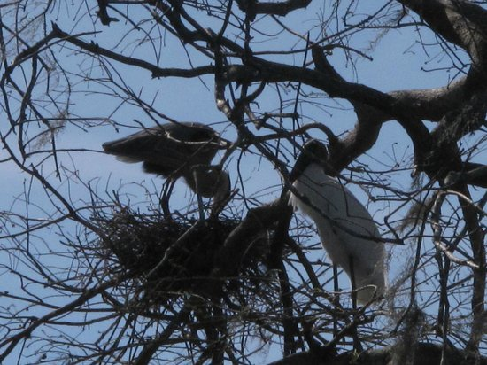 Spirit of the Swamp Airboat Tours:                   Baby in nest