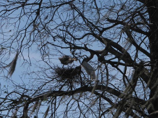 Spirit of the Swamp Airboat Tours:                   Wood Stork with baby in nest