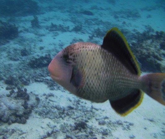 Tikehau Pearl Beach Resort: Fish buddy