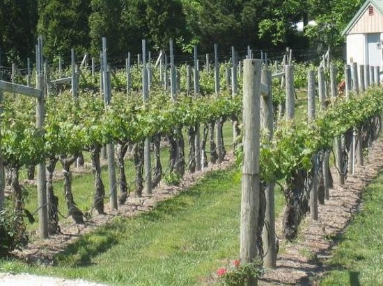 Cape May Winery: grapes grown on premise