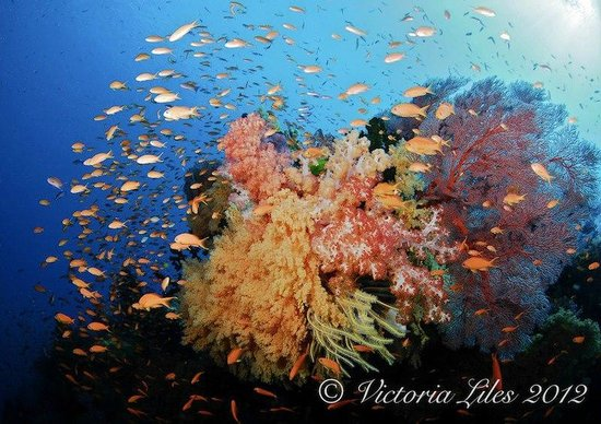 Dive Wananavu :                                                       Bligh Water coral reefs hard and soft cora