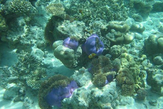 Eriyadu Island Resort: anemones