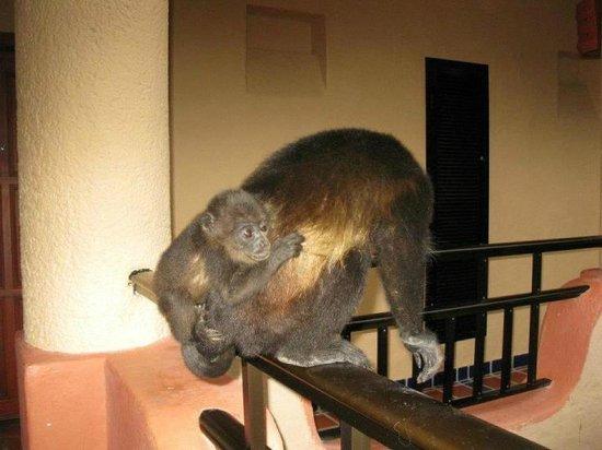 Sandos Playacar Beach Resort:                   Monos en mi balcón, están libres al igual que otros animales
