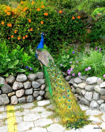 Hotel Atitlan:                   Peacock