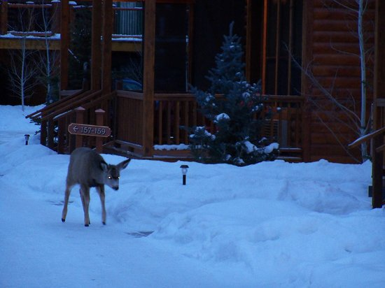 Rustic Inn Creekside Resort and Spa at Jackson Hole:                   Deer on the grounds