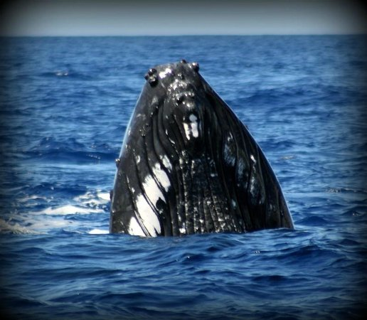 Pacific Whale Foundation:                   and more whales