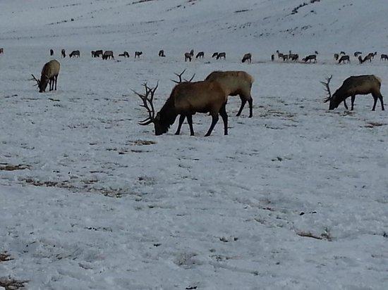 National Elk Refuge: Just a few of the bull elk