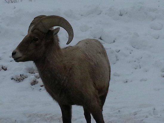 National Elk Refuge: Big Horn sheep at Miller's Butte