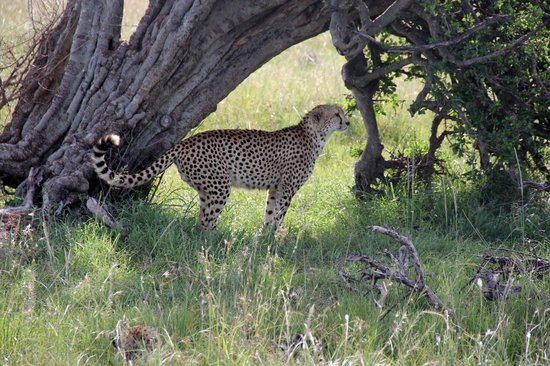 East Africa Adventure Tours and Safaris - Day Tours:                                     cheetah
