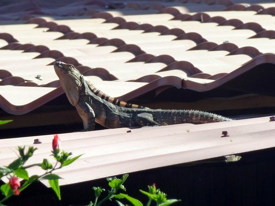 Hotel Villa Amarilla:                   Iguana on the roof