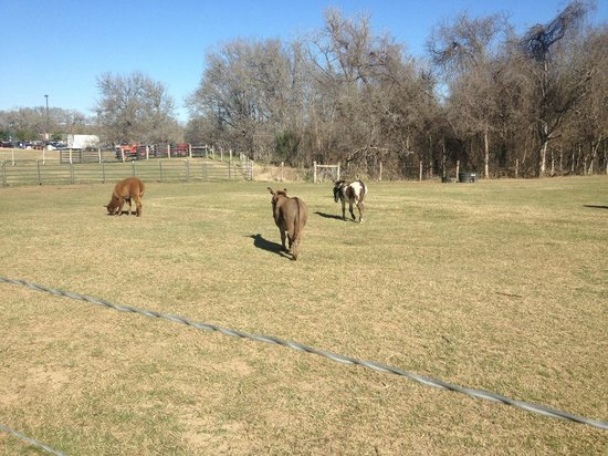 Hyatt Regency Lost Pines Resort & Spa:                   alpacas and donkeys