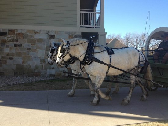 Hyatt Regency Lost Pines Resort & Spa:                   Clydesdale rides