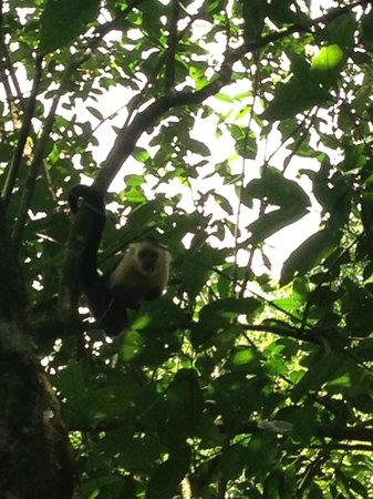 Luna Lodge: white face monkey on our tour of the Corcovado Park