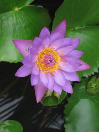 Shravanam Greens :                   Water lily in one of the small ponds