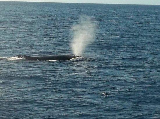 Maui Classic Charters : Whale Spout