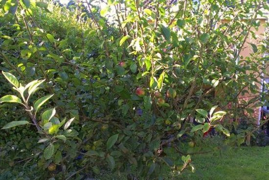 Orchard House: apple trees