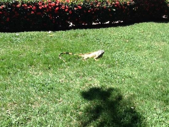 Royal Decameron Complex: iguana at RD