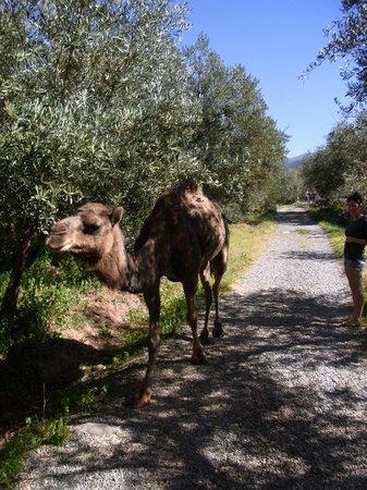 Domaine de la Roseraie:                   Pearl, the resident camel