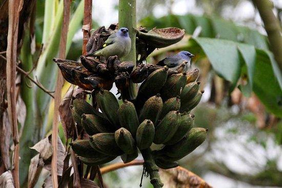 Finca Lindos Ojos:                   Birds on banana tree
