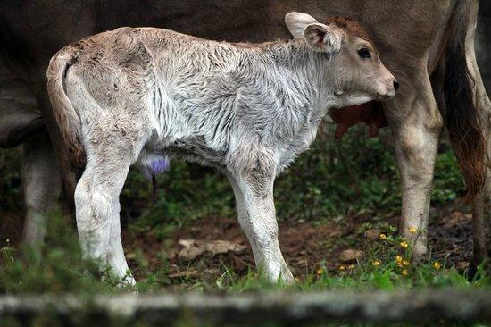 Finca Lindos Ojos:                   A calf nearby