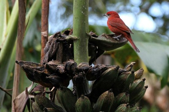 Finca Lindos Ojos:                   Bird on banana tree at finca