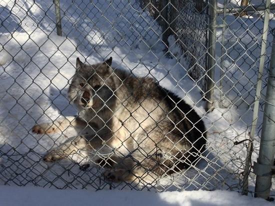 Northern Lights Wildlife Wolf Centre:                   wolf!