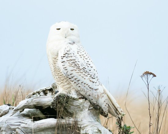 BEST WESTERN Lighthouse Suites Inn: Snowy Owl at Ocean Shores