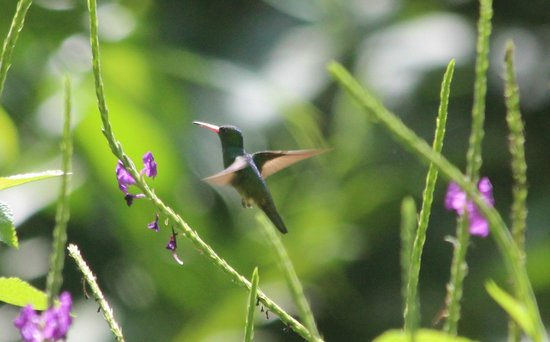 Bosque del Rio Tigre:                   I believe this is the charming hummingbird, seen from lodge building.