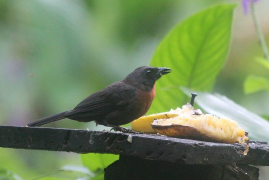 Bosque del Rio Tigre:                   Black-cheeked ant tanager, taken from porch