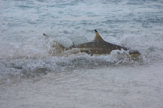 Bandos:                   Shark