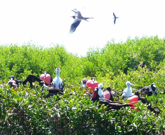 Pineapple Beach Club Antigua: Frigate bird colony on Barbuda