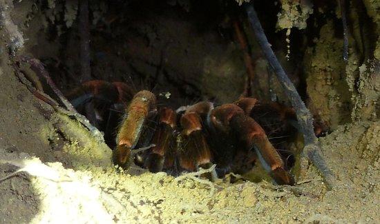 Guides of Monteverde:                   Tarantula in lair